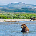 Grizzly Bears In Moraine River In Katmai National Preserve-ak by Ruth Hager