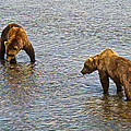 Grizzly Bears Looking For Salmon In Moraine River In Katmai Np-ak by Ruth Hager