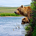 Grizzly Bears Peering Out Over Moraine River From Their Safe Island by Ruth Hager