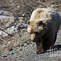 Grizzly By The Road by David Arment