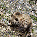 Grizzly Digging by David Arment