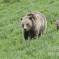 Grizzly Family On Dunraven by Bob Dowling