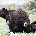 Grizzly Family Portrait by Deby Dixon