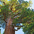 Grizzly Giant Sequoia Top In Mariposa Grove In Yosemite National Park-california    by Ruth Hager