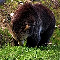Grizzly Grazing by Dan Sproul