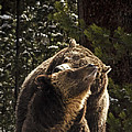 Grizzly Love by Bruce J Barker