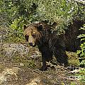 Grizzly On The Prowl by Brenda Kean
