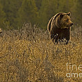 Grizzly Sow And Cub   #6365 by J L Woody Wooden