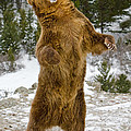 Grizzly Standing by Jerry Fornarotto