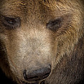 Grizzly Upclose by Ernie Echols