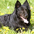 Groenendael Dog by Jean-Michel Labat