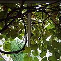 Gropius Vine by Joseph Skompski
