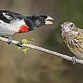 Grosbeak Gossip by Peg Runyan