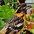 Grosbeak Profile by VLee Watson