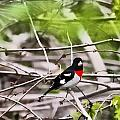 Grosbeaks by John Delong