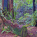 Ground Level Landscape In Armstrong Redwoods State Preserve Near Guerneville-ca by Ruth Hager
