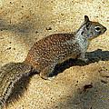 Ground Squirrel by Frank Wilson