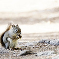 Ground Squirrel by Ivy Ho