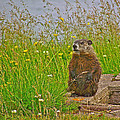 Groundhog At Point Amour In Labrador by Ruth Hager