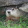 Groundhog Hiding In His Cave by John Telfer