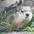 Groundhog Making Sure It Is Safe by John Telfer