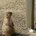 Groundhog With Shadow by Heather Jane