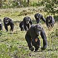 group of Common Chimpanzees running by Juergen Ritterbach