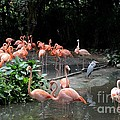 Group Of Flamingos And Lone Heron In Water by Imran Ahmed