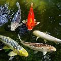 Group Of Koi 2 by Phyllis Spoor