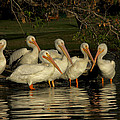 Group Of White Pelicans by Diana Haronis