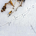 Grouse Tracks by Timothy Flanigan