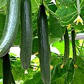 Growing Cucumbers by Zina Stromberg