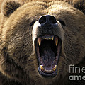 Growling Grizzly Bear by Mark Newman