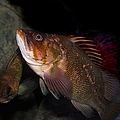 Gruper Fish 5d24129 by Wingsdomain Art and Photography