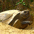 Florida Gopher Tortoise And Home by David Lee Thompson