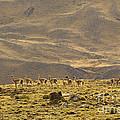 Guanaco Herd, Argentina by John Shaw