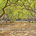 Guava Garden In Autumn by Image World