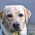 Guide Dog In Training by Kaye Menner
