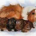 Guinea Pig Family by Jutta Maria Pusl