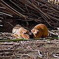 Guinea Pig Livestock At Lake Titicaca Peru by Jared Bendis