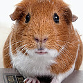 Guinea Pig Talent by Susan Stone