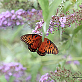 Gulf Fritillary Agraulis Vanillae-featured In Nature Photography-wildlife-newbies-comf Art Groups  by Ericamaxine Price