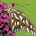 Gulf Fritillary Butterfly Agraulis by Millard H. Sharp