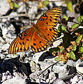 Gulf Fritillary Butterfly - Agraulis Vanillae by Christiane Schulze Art And Photography