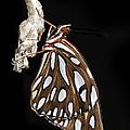 Gulf Fritillary Butterfly And Chrysalis by Bradford Martin