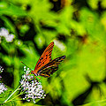 Nature - Macro - Gulf Fritillary Butterfly by Barry Jones