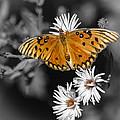 Gulf Fritillary Butterfly by Carolyn Marshall