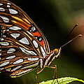 Gulf Fritillary Butterfly by George Kenhan