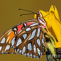 Gulf Fritillary Butterfly by Millard H. Sharp