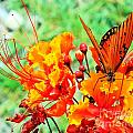 Gulf Fritillary Butterfly On Pride Of Barbados by Michael Tidwell